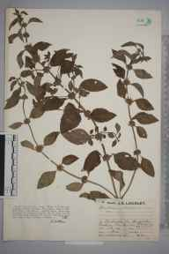Mentha arvensis herbarium specimen from Amberley, VC13 West Sussex in 1930 by Mr Job Edward Lousley.