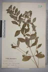 Mentha arvensis herbarium specimen from Billingshurst, VC13 West Sussex in 1937 by Mr Edward Charles Wallace.