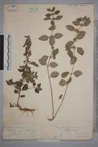 Mentha arvensis herbarium specimen from Cranleigh, Vachery Pond, VC17 Surrey in 1884 by Mr William Hadden Beeby.