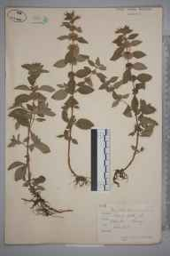 Mentha arvensis herbarium specimen from Addington, VC17 Surrey in 1882 by Mr Arthur Bennett.