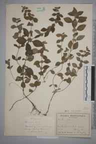 Mentha arvensis herbarium specimen from Broadwater Forest, VC14 East Sussex in 1943 by Mr Herbert William Pugsley.