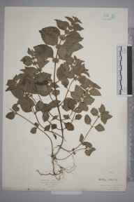 Mentha arvensis herbarium specimen from Burnham Beeches, VC24 Buckinghamshire in 1926 by Mr Isaac A Helsby.