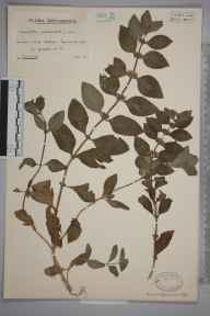 Mentha arvensis herbarium specimen from Symonds Yat, VC34 West Gloucestershire in 1927 by Mr Arthur Langford Still.