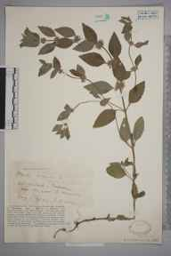 Mentha arvensis herbarium specimen from Ringwood, VC11 South Hampshire in 1929 by Mr Iolo Aneurin Williams.