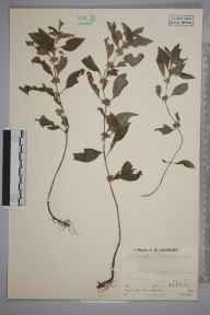 Mentha arvensis herbarium specimen from Brecon, VC42 Breconshire in 1935 by Mr Job Edward Lousley.
