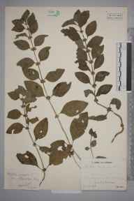 Mentha arvensis herbarium specimen from Tonbridge, VC16 West Kent in 1943 by Mr Job Edward Lousley.
