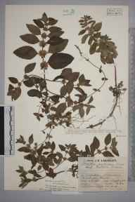 Mentha arvensis herbarium specimen from Aldenham, VC20 Hertfordshire in 1929 by Mr Job Edward Lousley.