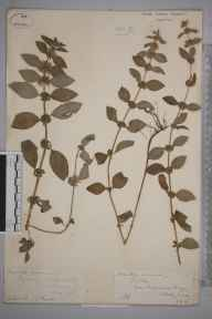 Mentha arvensis herbarium specimen from Godstone, VC17 Surrey in 1885 by James Thomas Powell.