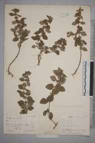 Mentha arvensis herbarium specimen from Bosham, VC13 West Sussex in 1901 by Rev. Edward Shearburn Marshall.