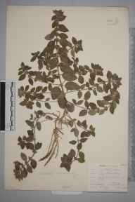 Mentha arvensis herbarium specimen from Cudham, VC16 West Kent in 1903 by William Henry Griffin.