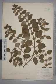 Mentha arvensis herbarium specimen from Farnborough, VC16 West Kent in 1903 by William Henry Griffin.