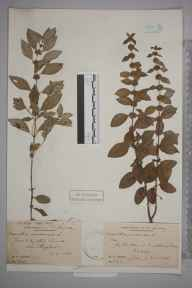 Mentha arvensis herbarium specimen from Ockley, VC17 Surrey in 1884 by Mr William Hadden Beeby.