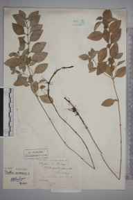 Mentha arvensis herbarium specimen from Oxshott, VC17 Surrey in 1878 by Mr William Hadden Beeby.