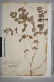 Mentha arvensis herbarium specimen from Effingham Common, VC17 Surrey in 1927 by Mr Edward Charles Wallace.