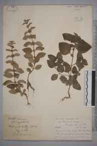 Mentha arvensis herbarium specimen from Witley, VC17 Surrey in 1888 by Rev. Edward Shearburn Marshall.