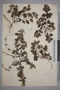 Mentha arvensis herbarium specimen from Trewedna Valley, VC1 West Cornwall in 1899 by Mr Allan Octavian Hume.