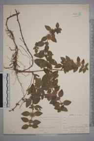 Mentha arvensis herbarium specimen from East Looe, VC2 East Cornwall in 1900 by Mr Allan Octavian Hume.