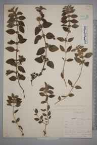 Mentha arvensis herbarium specimen from Perranwell, VC1 West Cornwall in 1899 by Mr Allan Octavian Hume.