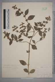 Mentha arvensis herbarium specimen from Hessenford, VC2 East Cornwall in 1900 by Mr Allan Octavian Hume.