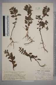 Mentha arvensis herbarium specimen from Ranmore Common, VC17 Surrey in 1924 by Mr Job Edward Lousley.
