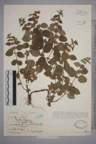 Mentha arvensis herbarium specimen from Cambridge Batch, VC6 North Somerset in 1928 by Ida Mary Roper.