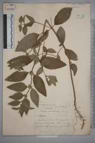 Mentha arvensis herbarium specimen from Horley, VC17 Surrey in 1879 by Mr William Hadden Beeby.