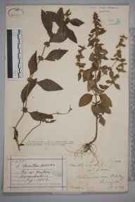 Mentha arvensis herbarium specimen from Hatton, VC38 Warwickshire in 1882 by Mr Henry Bromwich.