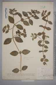 Mentha arvensis herbarium specimen from Lostwithiel, VC2 East Cornwall in 1901 by Mr Allan Octavian Hume.
