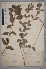 Mentha arvensis herbarium specimen from Edlaston, VC57 Derbyshire in 1890 by Rev William Richardson Linton.