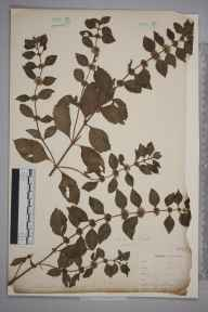 Mentha arvensis herbarium specimen from Newquay, VC1 West Cornwall by Dr Chambre Corker Vigurs.