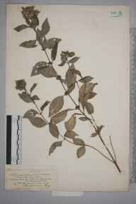 Mentha arvensis herbarium specimen from Great Doward, VC36 Herefordshire in 1902 by Rev. Augustin Ley.