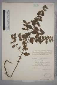 Mentha arvensis x aquatica = M. x verticillata herbarium specimen from Shapwick, VC6 North Somerset in 1926 by Ida Mary Roper.