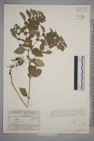 Mentha arvensis x aquatica = M. x verticillata herbarium specimen from Ambrosden, VC23 Oxfordshire in 1927 by Mr George Claridge Druce.