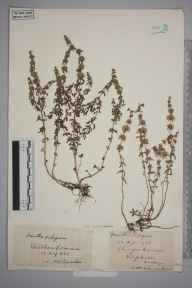 Mentha pulegium herbarium specimen from Mitcham Common, VC17 Surrey in 1893 by S A Chambers.