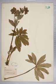 Helleborus viridis herbarium specimen from Clapham Woods, VC13 West Sussex by Joseph Woods.
