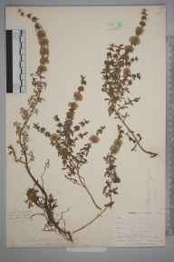 Mentha pulegium herbarium specimen from Slapton Ley, VC3 South Devon in 1900 by Mr Allan Octavian Hume.
