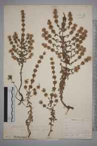 Mentha pulegium herbarium specimen from Perranwell Station, VC1 West Cornwall in 1899 by Mr Frederick Hamilton Davey.
