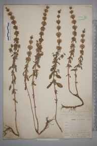 Mentha pulegium herbarium specimen from Kennall Valley, VC1 West Cornwall in 1899 by Mr Allan Octavian Hume.