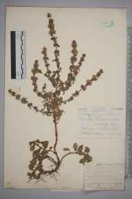 Mentha pulegium herbarium specimen from Ponsanooth, VC1 West Cornwall in 1904 by Mr Spencer Henry Bickham.