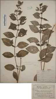 Mentha  herbarium specimen from Whalley Range, VC59 South Lancashire in 1900 by Mr Charles Bailey.