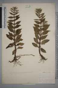 Lycopus europaeus herbarium specimen from East Looe, VC2 East Cornwall in 1900 by Mr Allan Octavian Hume.