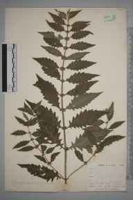 Lycopus europaeus herbarium specimen from Burnham Beeches, VC24 Buckinghamshire in 1898 by Mr Allan Octavian Hume.
