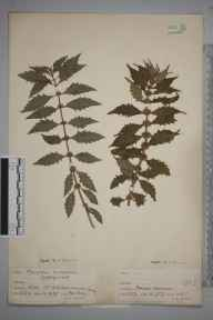Lycopus europaeus herbarium specimen from Ashtead, VC17 Surrey in 1938 by F W Terry.