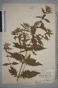 Lycopus europaeus herbarium specimen from Cannon Hill, VC17 Surrey in 1907 by Mr Charles Edward Britton.