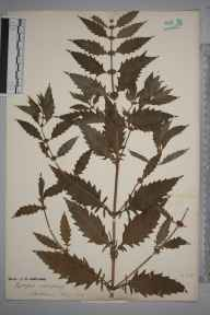Lycopus europaeus herbarium specimen from Battledown, VC33 East Gloucestershire in 1889.