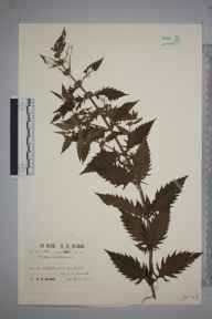 Lycopus europaeus herbarium specimen from Lescudjack Moor, VC1 West Cornwall in 1913 by Richard Barker Ullman.