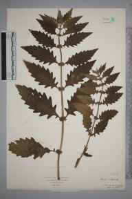 Lycopus europaeus herbarium specimen from Budleigh Salterton, VC3 South Devon in 1925 by Mr Isaac A Helsby.