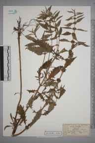 Lycopus europaeus herbarium specimen from Great Bookham Common, VC17 Surrey in 1953 by Peter Charles Hall.