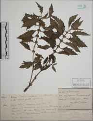 Lycopus europaeus herbarium specimen from River Rother, VC13 West Sussex in 1890 by J H T.