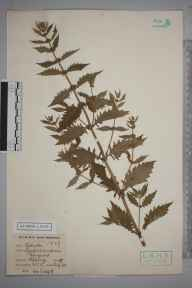 Lycopus europaeus herbarium specimen from Epping, VC18 South Essex in 1896 by E L S.